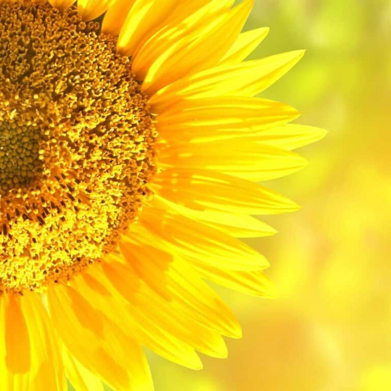 14 Sunflower Gifts for Sunflower Lovers